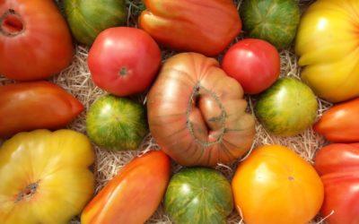 Les tomates anciennes : fraîcheur, goût et diversité !
