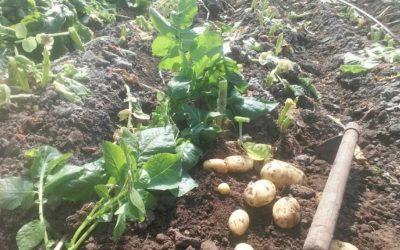 Risotto de pommes de terre primeur